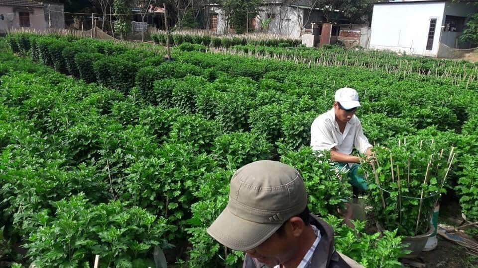 Hiện tại vườn ông Hiếu có hơn 10 lao động đang tỉa nụ (hái những nụ hoa nhỏ, chỉ chừa nụ lớn để cho bông to nhất).