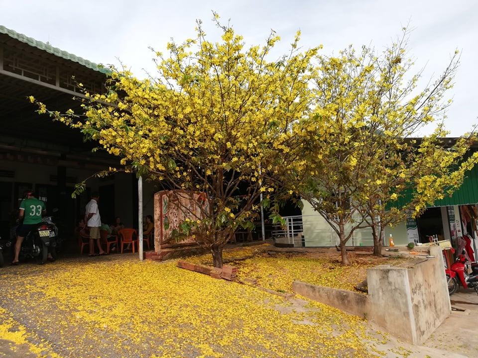 Ba cây mai vàng rực cả một góc vườn