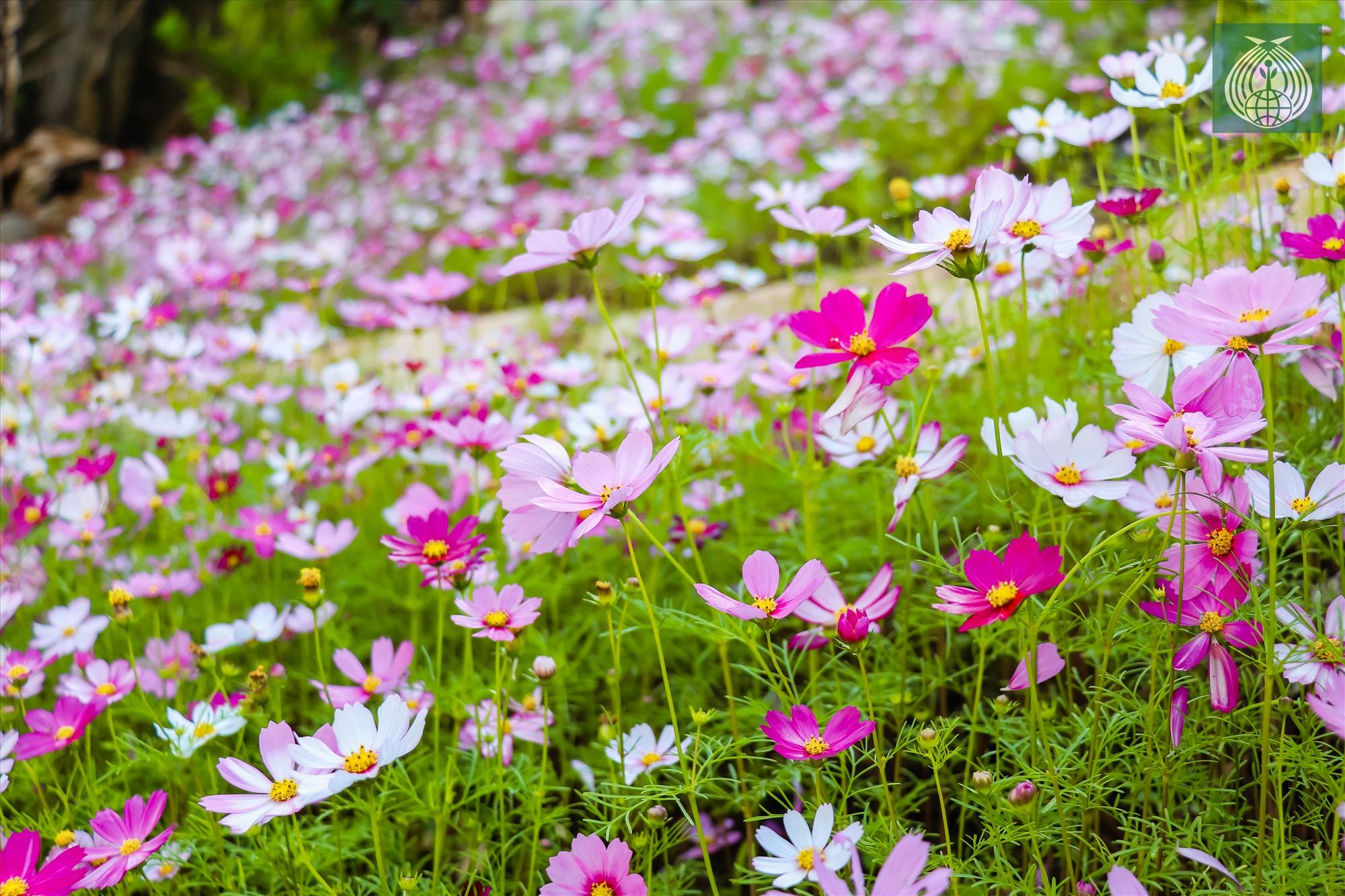 Tại đây, du khách có thể chìm đắm trong sắc hoa đang nở rộ.