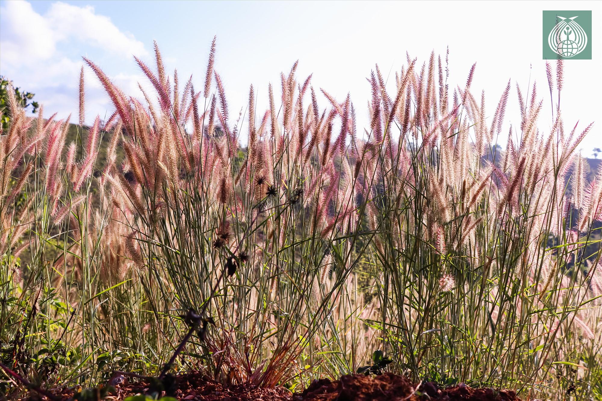 Cỏ lau tượng trưng cho vẻ đẹp hoang sơ, sức sống mãnh liệt của núi rừng. Với điều kiện thời tiết càng khắc nhiệt thì hoa cỏ lau hồng lại nở rộ càng đẹp.