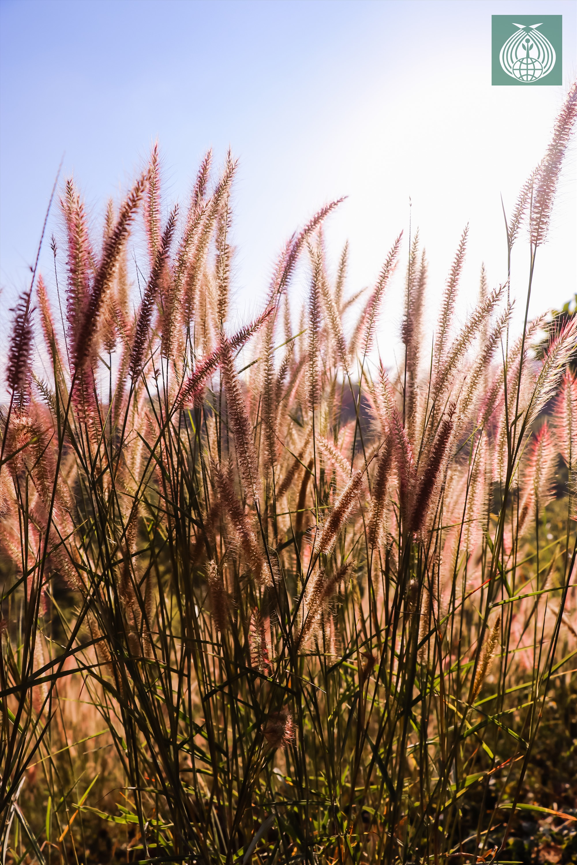 Cỏ lau hồng là một loại cỏ dại, chủ yếu mọc trên các ngọn đồi, vách đá, hoặc lác đác trên các cung đường quanh co, uốn lượn, dưới chân suối, bên bìa rừng...