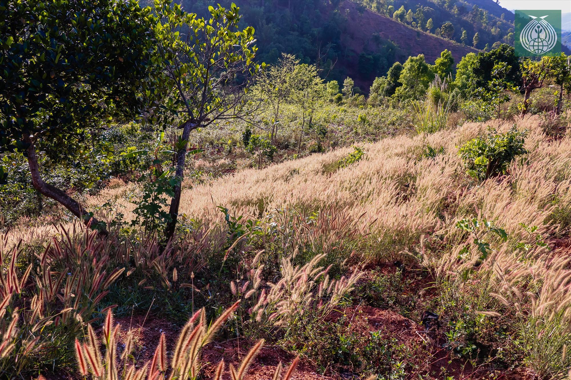 Dưới ánh nắng vàng mùa xuân, đồi cỏ lau đã tạo nên một cảnh đẹp thơ mộng nơi miền tây Quảng Trị.