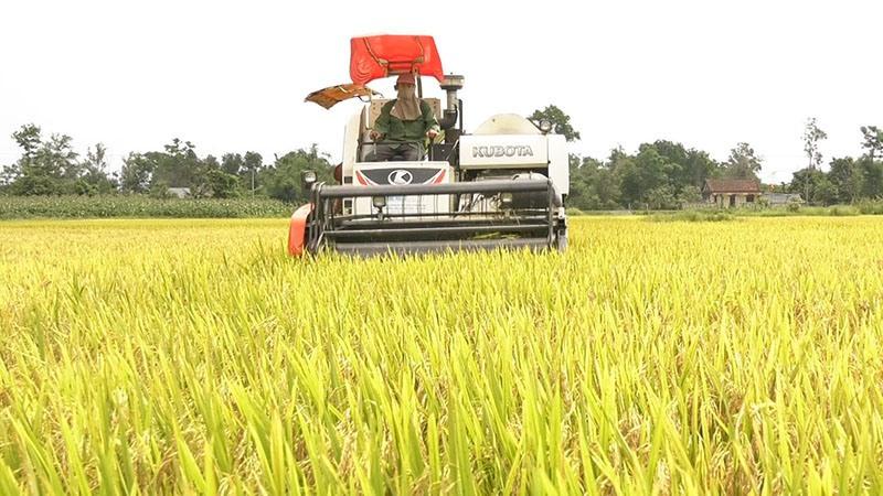 Nông dân huyện Vĩnh Linh thu hoạch lúa vụ đông xuân 2020 - 2021 - Ảnh: T.T
